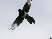 復旦大埤塘周遭的鳥兒:N74A2948喜鵲飛姿.jpg