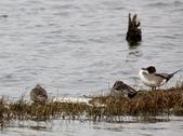 鰲鼓的候鳥與水鳥:074A7908.JPG