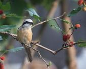 南港鳥兒:074A2388a.jpg