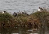 鰲鼓的候鳥與水鳥:074A7914b.JPG