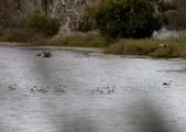 鰲鼓的候鳥與水鳥:074A7942反嘴鴴.jpg