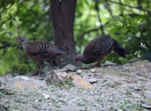 大雪山林道的藍腹鷴:074A6656二隻母鳥.JPG