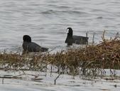 鰲鼓的候鳥與水鳥:074A7903白冠水雞.jpg
