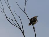 復旦大埤塘周遭的鳥兒:N74A2964a.jpg
