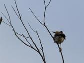 復旦大埤塘周遭的鳥兒:N74A2962a.jpg