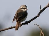 褐頭鷦鶯、粉紅鸚嘴、紅尾伯勞與灰頭鷦鶯:N74A4491紅尾伯勞.JPG