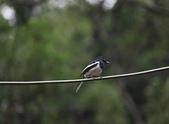 新天母公園的鵲鴝雄鳥:074A5790.JPG