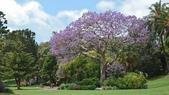 2017雪梨的藍花楹:10545.jpg
