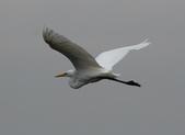 鰲鼓的候鳥與水鳥:074A7921中白鷺.JPG