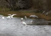 鰲鼓的候鳥與水鳥:074A7950.JPG