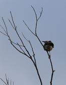 復旦大埤塘周遭的鳥兒:N74A2963.JPG