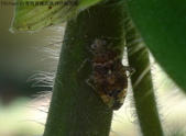 台灣猬盲椿成蟲與終齡若蟲:DSC08099a.jpg