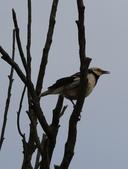 復旦大埤塘周遭的鳥兒:N74A2976.JPG