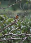 雙溪秋天的鳥類:074A5485.JPG