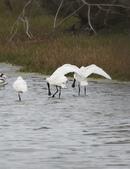 鰲鼓的候鳥與水鳥:074A7951黑琵.jpg