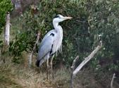 鰲鼓的候鳥與水鳥:074A7915蒼鷺.JPG