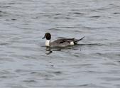 鰲鼓的候鳥與水鳥:074A7935尖尾鴨公.JPG