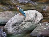 雙溪秋天的鳥類:074A5550雌翠鳥.jpg