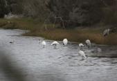 鰲鼓的候鳥與水鳥:074A7942.JPG