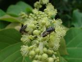 錐口蠅(口鼻蠅)吸野桐雄花的花蜜:DSC07935.JPG