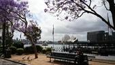 2017雪梨的藍花楹:10521.jpg