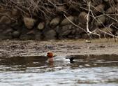 鰲鼓的候鳥與水鳥:074A7852赤頸鴨公.JPG