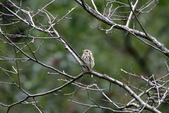 復旦-新天母公園的鳥兒:N74A3333.JPG