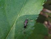 黑巴達姬蜂(雄):DSC02709.JPG