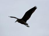 鰲鼓的候鳥與水鳥:074A8011夜鷺飛姿.JPG
