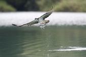水鳥捕魚千裡挑一精彩鏡頭:N74A0910.JPG