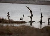 鰲鼓的候鳥與水鳥:074A8012.JPG
