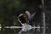水鳥捕魚千裡挑一精彩鏡頭:N74A0019.JPG