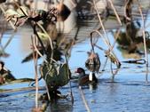 復旦大埤塘的鳥兒:074A7288a.jpg