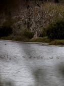 鰲鼓的候鳥與水鳥:074A7944.JPG