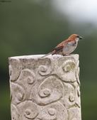 台南關子嶺的山麻雀親鳥育雛:074A3672.JPG