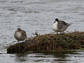鰲鼓的候鳥與水鳥:074A7865尖尾鴨 左母右公.jpg