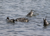 鰲鼓的候鳥與水鳥:N74A3137.JPG
