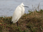鰲鼓的侯鳥與水鳥:N74A3141小白鷺.JPG