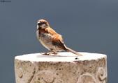 台南關子嶺的山麻雀親鳥育雛:074A3699.JPG