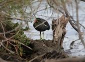 鰲鼓的候鳥與水鳥:N74A3145.JPG