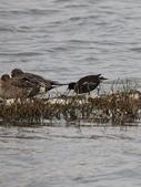 鰲鼓的候鳥與水鳥:074A7909紅冠水雞覓食.jpg