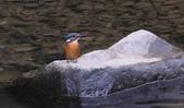 雙溪秋天的鳥類:074A5712翠鳥.jpg