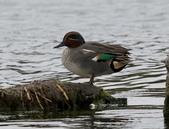 鰲鼓的候鳥與水鳥:074A7867小水鴨公.jpg