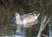 鰲鼓的候鳥與水鳥:N74A3174尖尾鴨雌.jpg