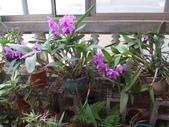 老父遺愛-嘉德麗雅蘭十月開花:DSC01153共29朵花.JPG