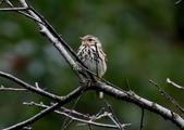 復旦-新天母公園的鳥兒:N74A3333樹鷚ㄌ一ㄡ`.jpg
