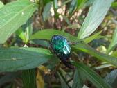 藍艷白點花金龜:DSC08592.JPG