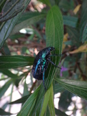 藍艷白點花金龜:DSC08604.JPG