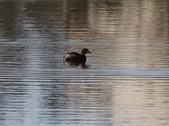 復旦大埤塘的鳥兒:074A7271a.jpg