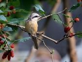 南港鳥兒:074A2379灰頭紅尾伯勞(雄).jpg